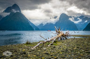 Fallen Tree at Milford Sound