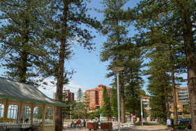Norfolk Pine Trees at Manly Beach