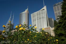 Roses in Sydney Botanic Gardens
