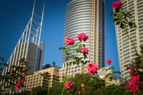 Roses in Sydney Botanical Gardens