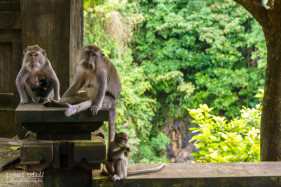 Long-Tailed Macaque Monkeys in Bali