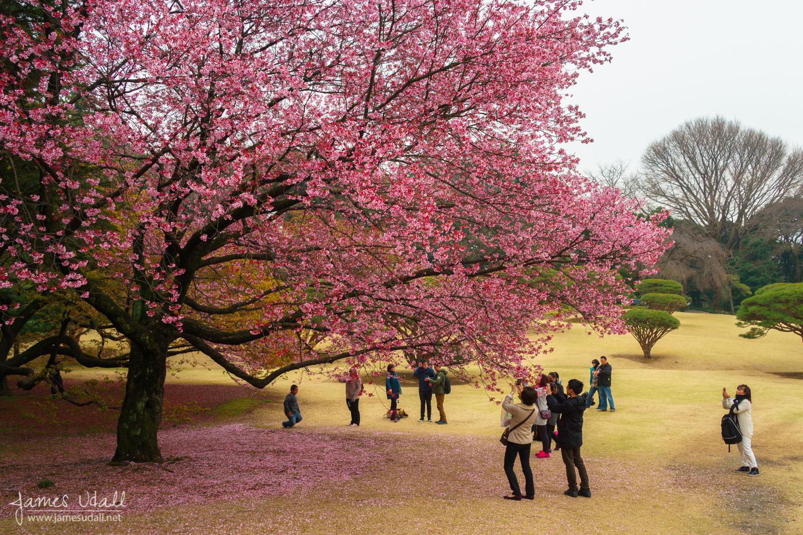 Taking Pictures of Sakura