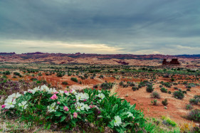 Wildflowers at Arches