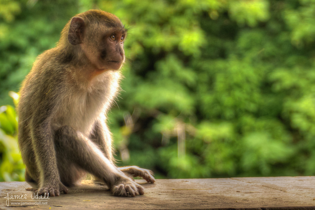 Young Long-Tailed Macaque Monkey