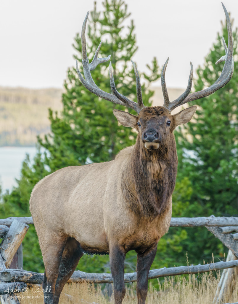 Bull Elk in Yellowstone National Park