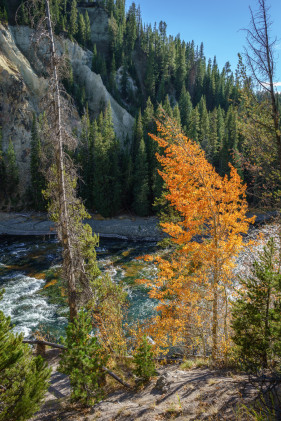 Lone Autumn Tree on the Yellowstone River