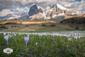 Spring Flower at Alpe di Suisi