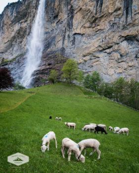Sheep below Staubbach Falls in Lauterbrunnen, Switzerland