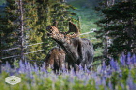 Bull Moose at Albion Basin, Utah