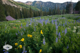 Colorful Wildflowers at Alta