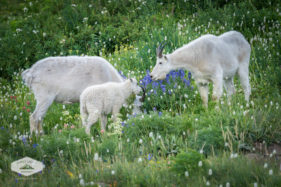 Family of Mountain Goats on Mount Timpanogos