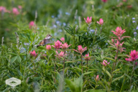 Humming Bird and Wildflowers at Albion Basin