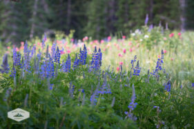 Lupines at Albion Basin