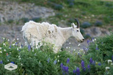 Mountain Goat on Mount Timpanogos