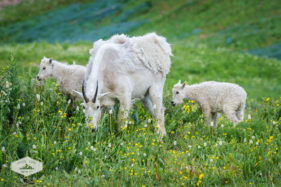 Mountain Goats in the Wildflowers