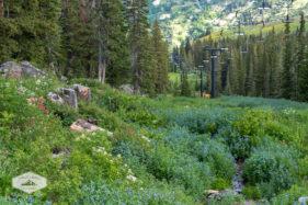 Summer Wildflowers at Alta