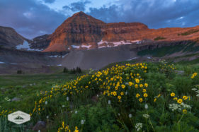 Wildflowers in Timpanogos Basin