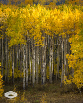 Gold Aspens in the Wasatch