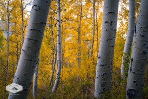 Grove of Aspens