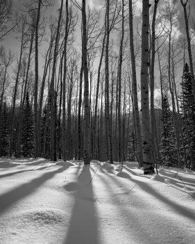 Aspen Tree Shadows in the Snow
