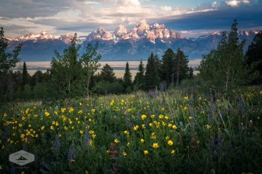 Wildflowers at Grand Teton National Park