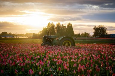Sunset at the Tulip Farm