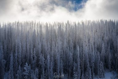 Trees Covered in Fresh Snow